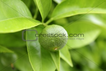 baby green orange growing in tree