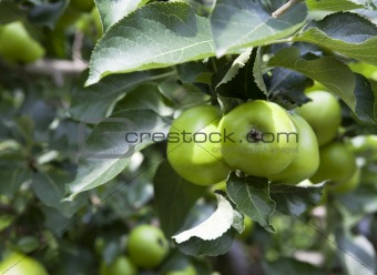 Apples on tree