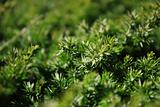 Green background of juniper