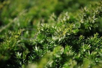Green background of juniper