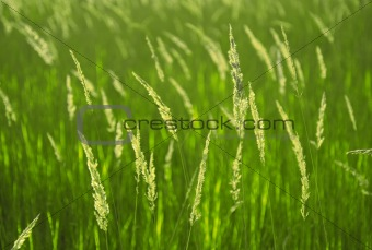 Background of spikelets