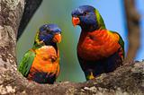 Rainbow Lorikeets.
