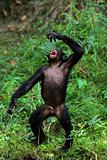Singing Bonobo.