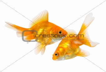 pair of goldfish