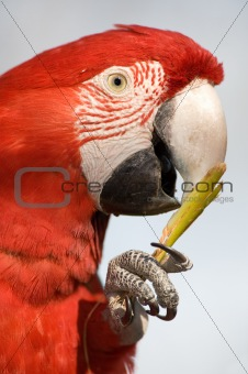 Close up of a colorful parrot eating.