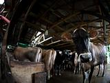 Cow on a dairy farm