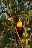 Channel-billed toucan with red fruit on beak