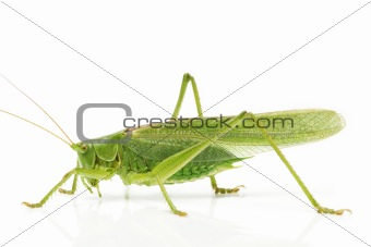 grasshopper side