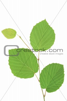 Branch with green leaves isolated on wite