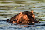 Hippopotamus with baby.