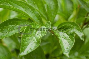 Green leaves with water drops.