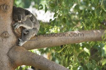 Koala Bear Sleeping in a tree.