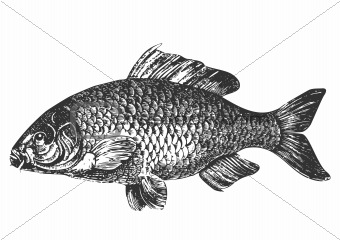 Carp fish antique illustration