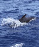 pilot whale free in open sea blue mediterranean