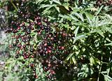 Ripening Elderberries