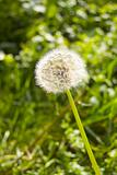 Lonely dandelion