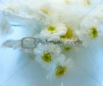 chrysanthemum in ice