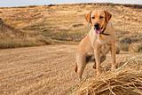 Golden Labrador