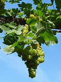 growing grape