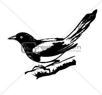 illustration magpie on white background