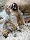 Jawing raccoon