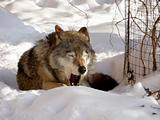 Jawing wolf on snow