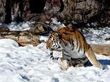 Moving tiger