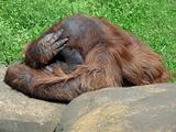 Thinking orangutan