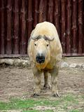 Tibetan takin