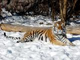 Tiger on the snow