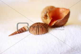 a conch_5