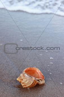 a conch_6