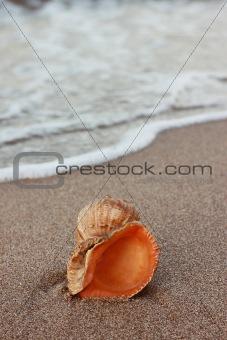a conch_7