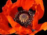 flower of blooming red poppy