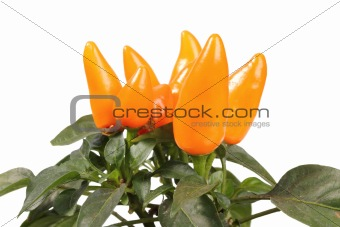 Group of a decorative orange peppers