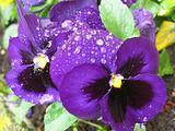 violet pansies after rain