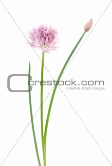 Pink flower on white