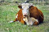 cow resting in grass