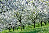 czech republic, prague - cerry trees in blossom on petrin hill in spring