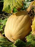 sunny pumpkin