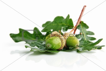 three green acorn fruits with leaves
