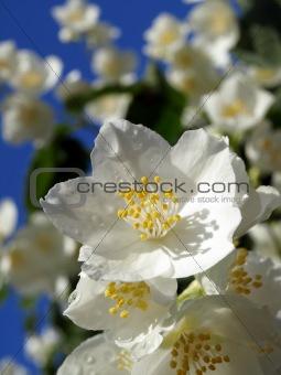 Beautiful Fresh Jasmine