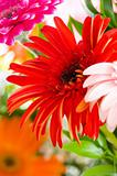 Red gerbera flower against green blurred background