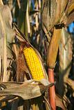 Corn in October