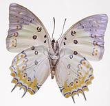 Jewel Nawab Butterfly