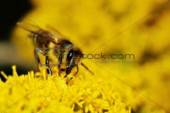 Bee gathering honey on yellow flowers