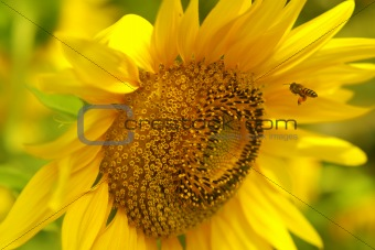 Bee is flying to sunflower