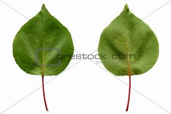 Apricot leaf