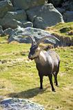 big goat hearing