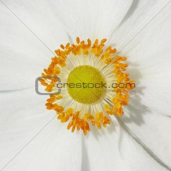 Anemones flower